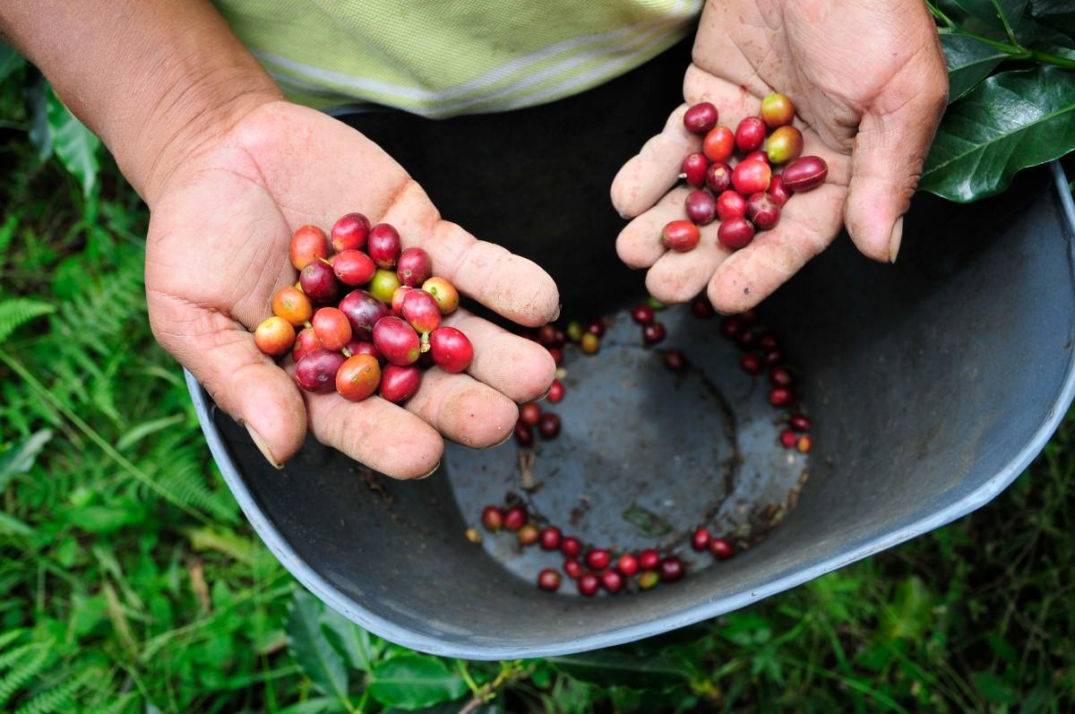 Colombie : le goût amer du café