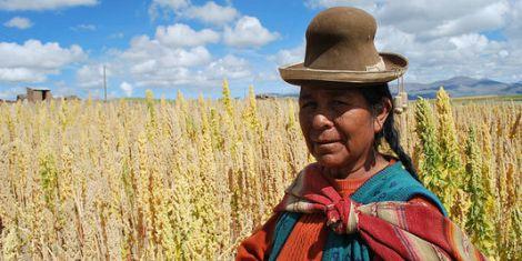 Champ de quinoa bolivien